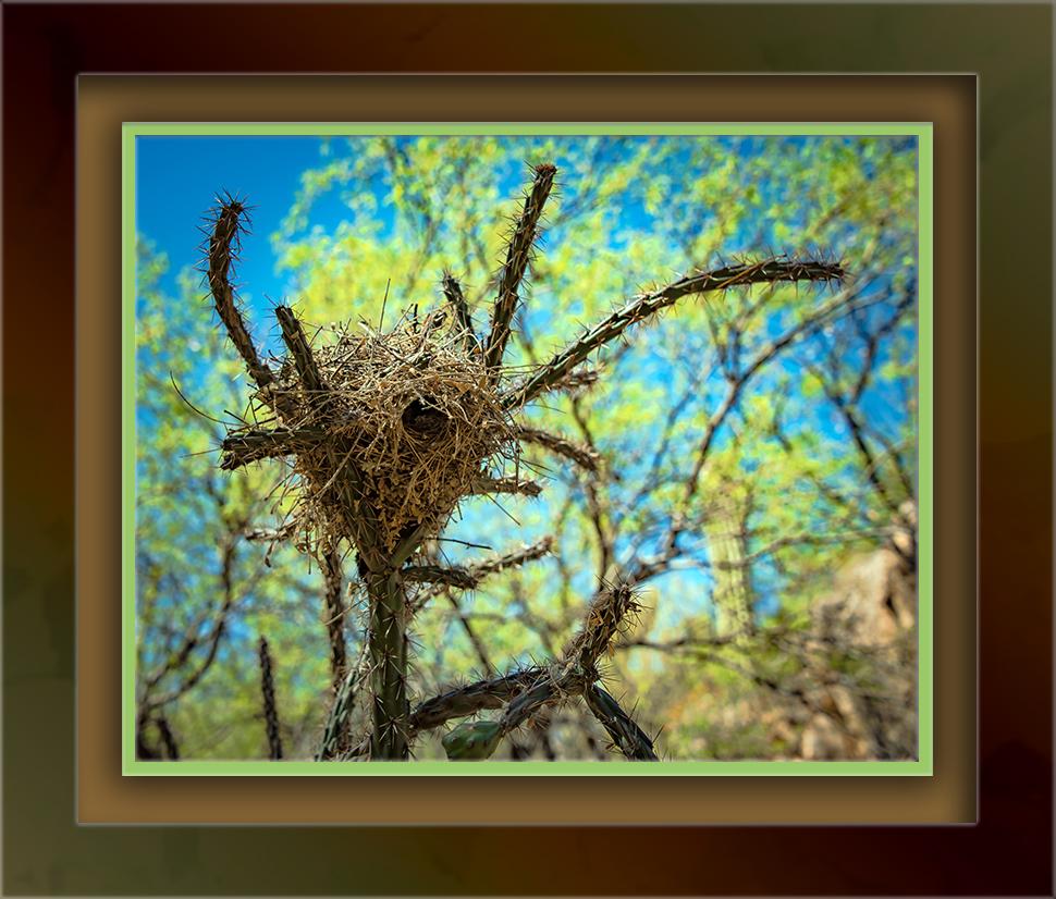 Cactus Wren Nest-72