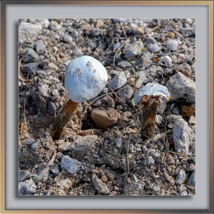 Desert Mushroom-72