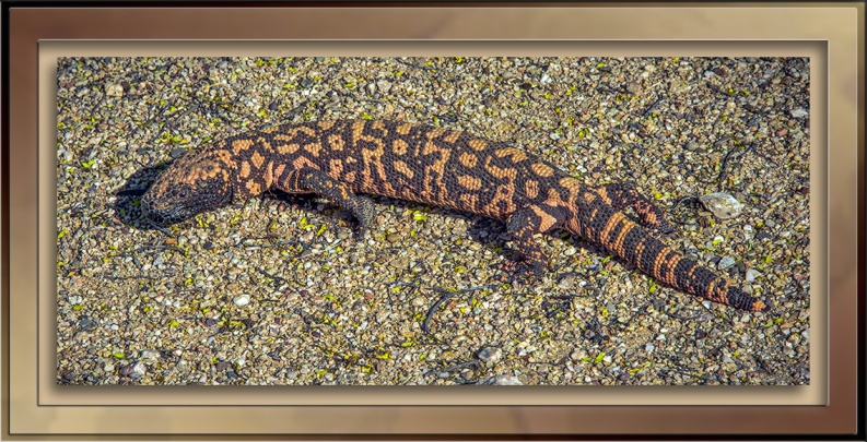 Gila Monster-72-2.jpg