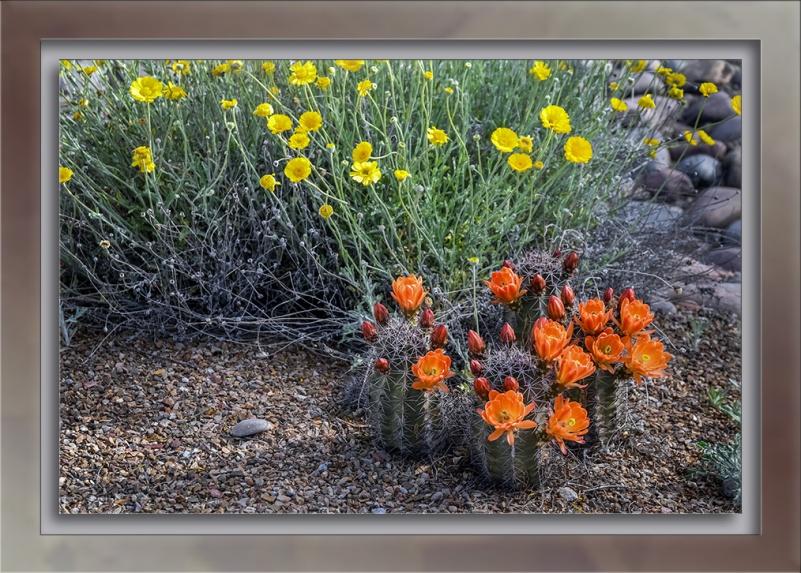 hedgehog cactus-72
