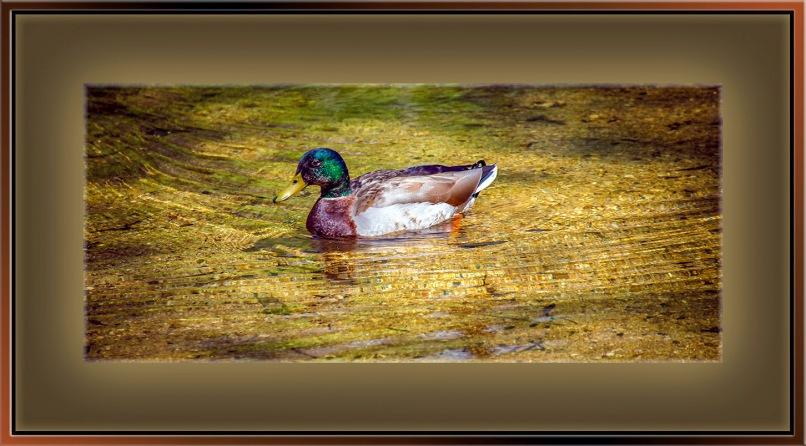 Mallard Duck-72