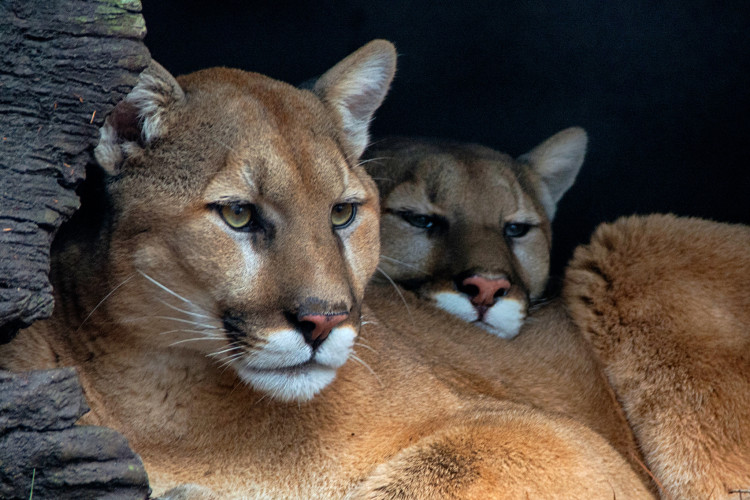 A mother mountain lion and her cub.