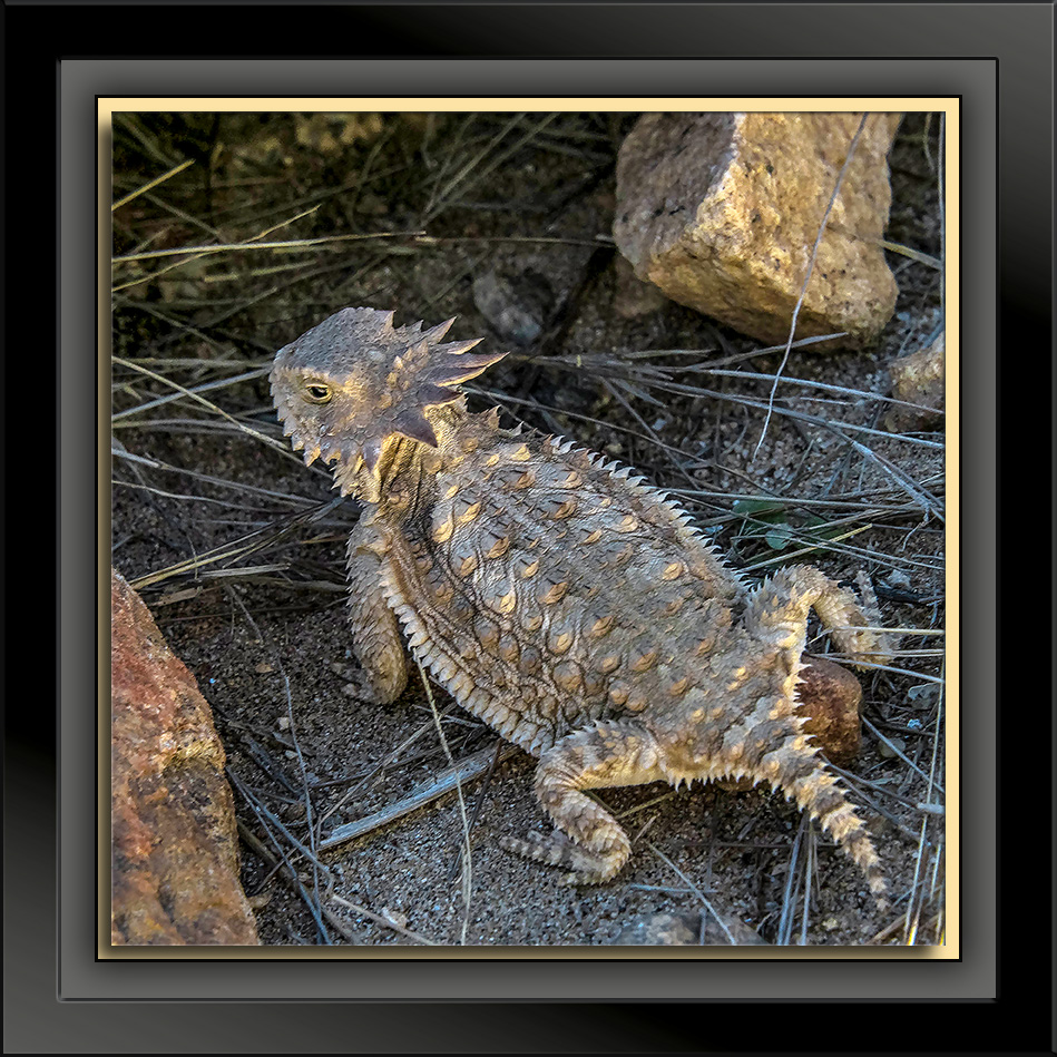 Regal Horned Lizard-72-1