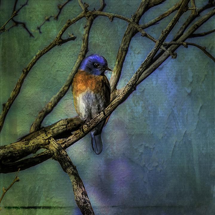 Western Bluebird-0516-Edit-art-72