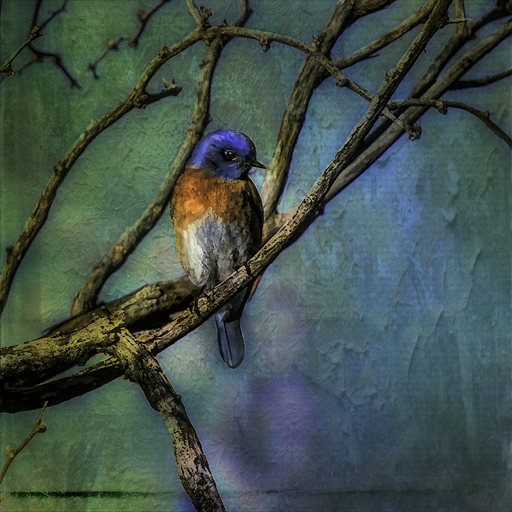Western Bluebird-0516-Edit-art-72