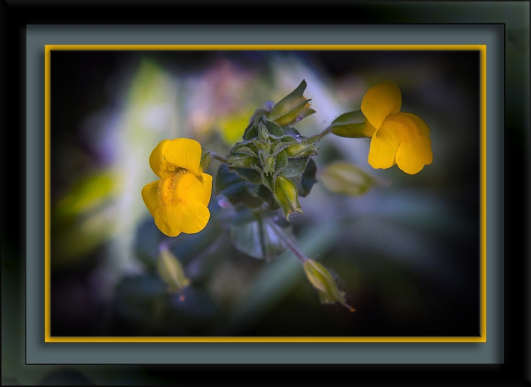 Yellow Monkeyflower-72