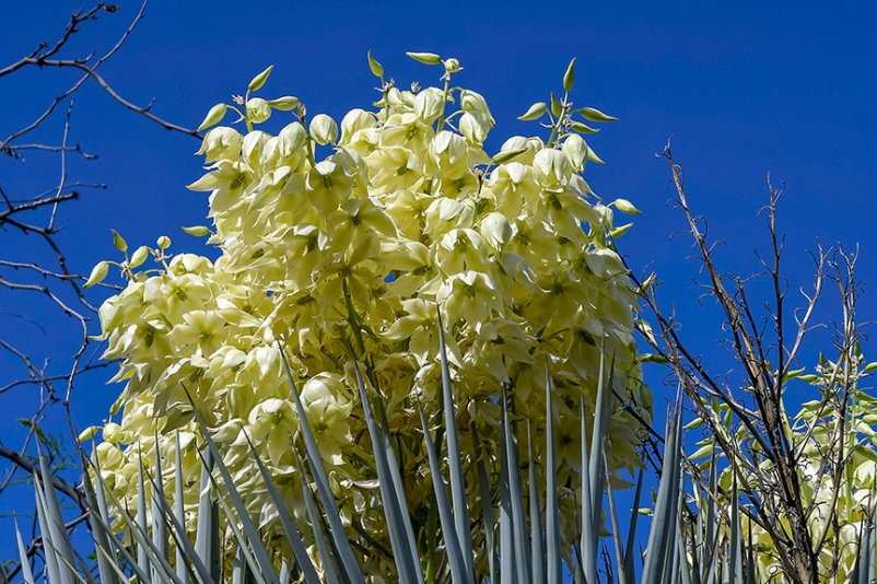 Yucca Blossoms-2-72