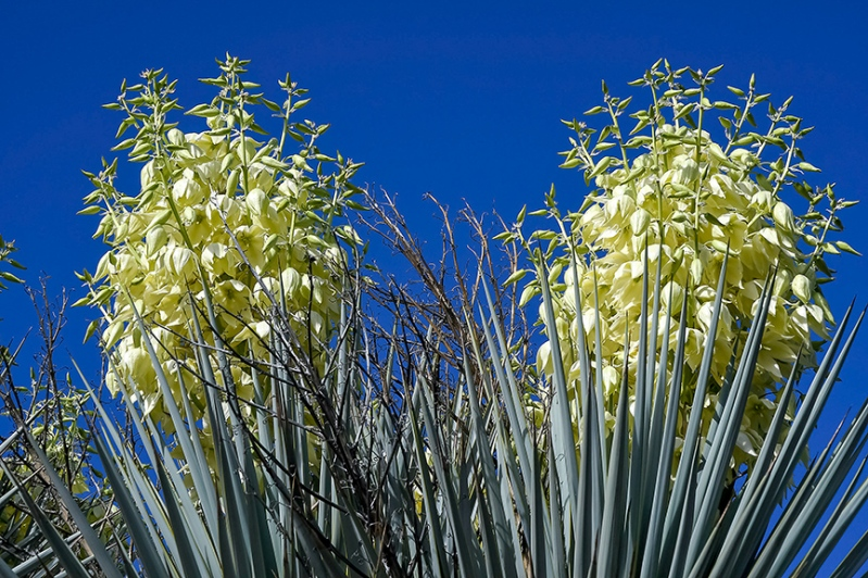 Yucca Blossoms-72
