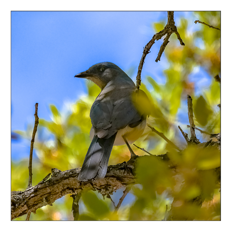 Green Mountain Trail Mexican Jay-3110-72