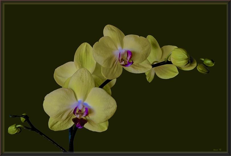 orchid & hawk