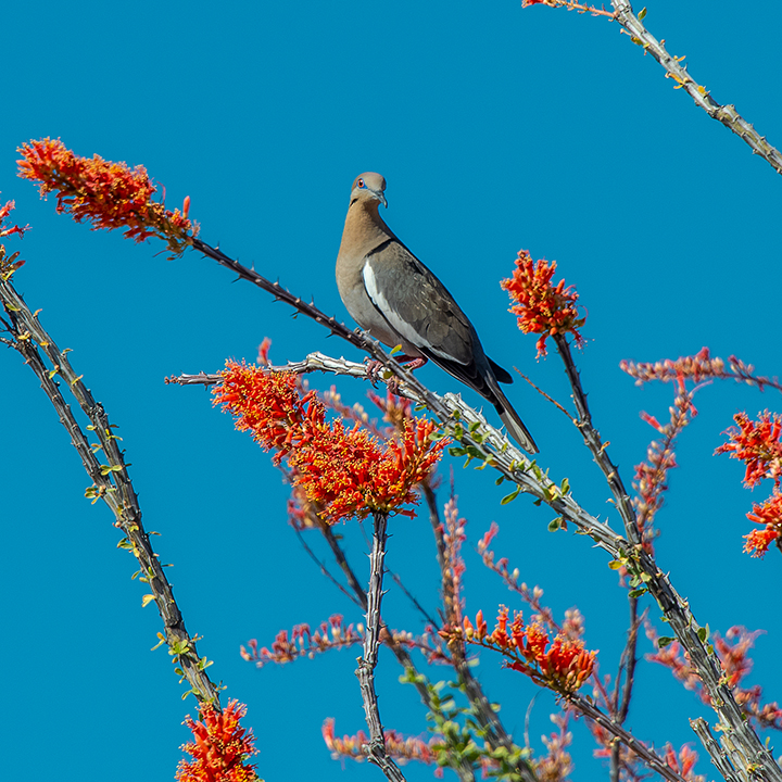 Whitewinged Dove On Ocotillo-3846-72