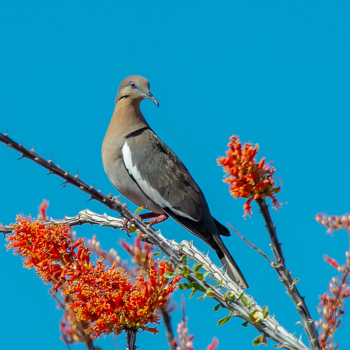 Whitewinged Dove On Ocotillo-3847-72