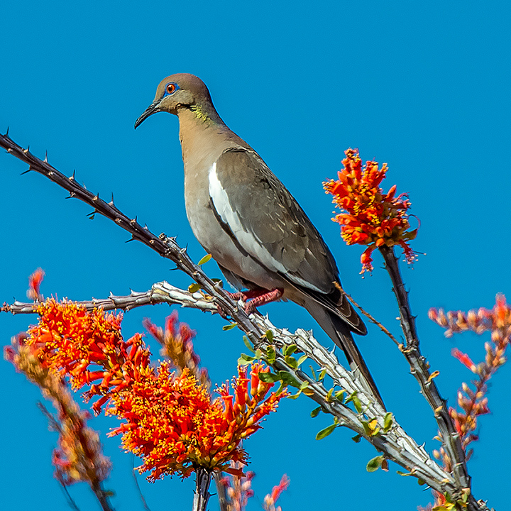 Whitewinged Dove On Ocotillo-3848-72
