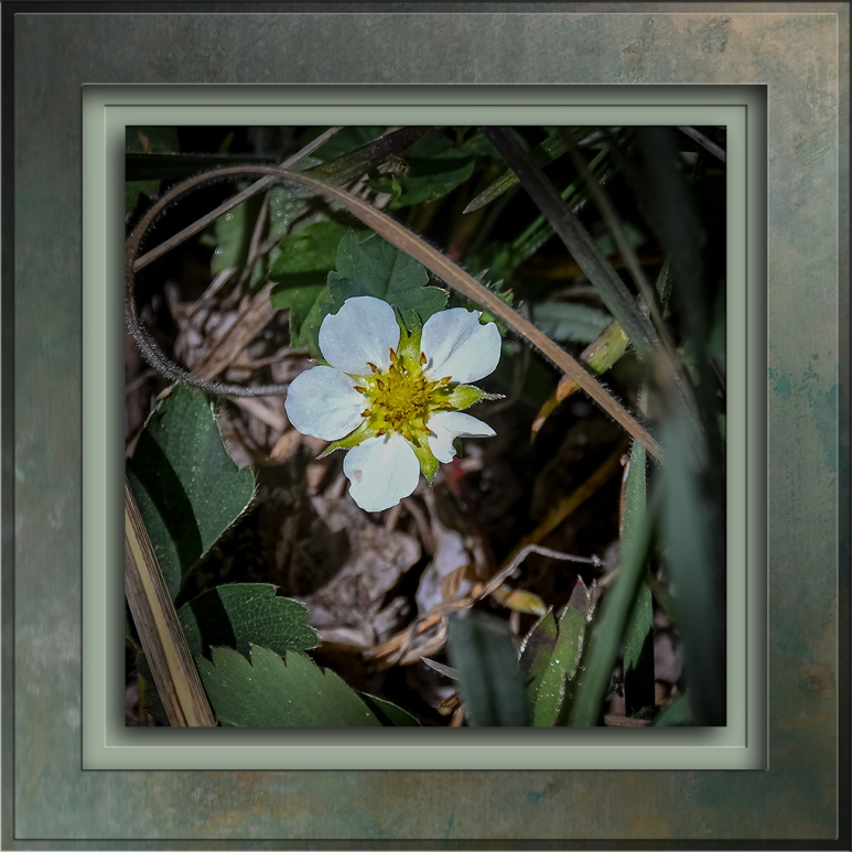 Whiteflower Cinquefoil-72