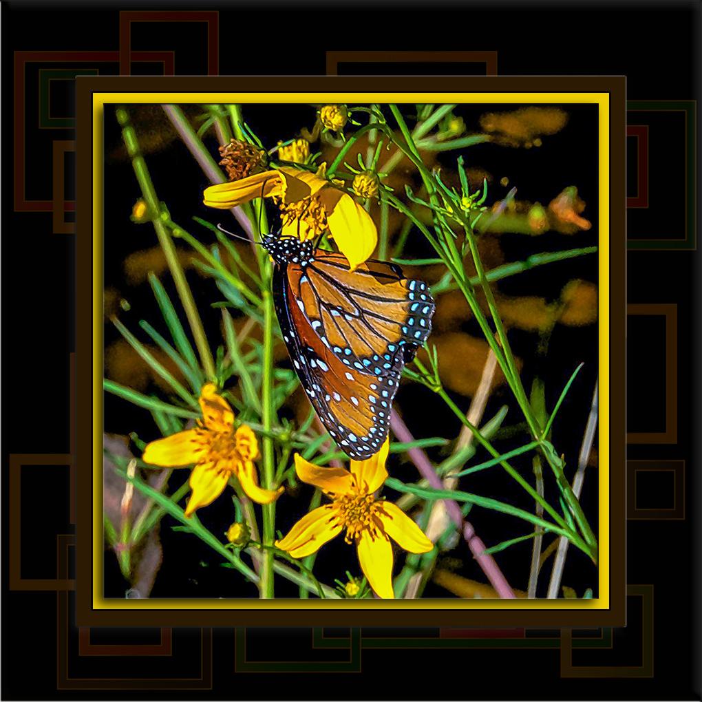 2011-11-09 Queen Butterfly-72-2