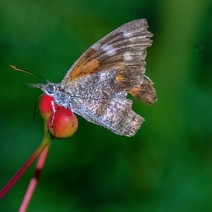 Butterflies-2105-American Snout-72