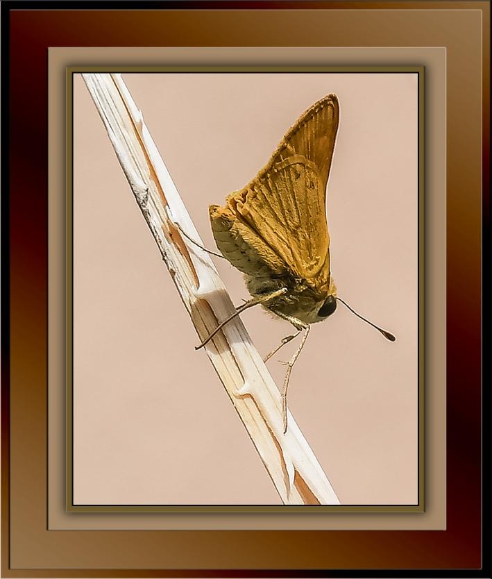 Butterfly-0255-Monk Skipper-72-2.jpg