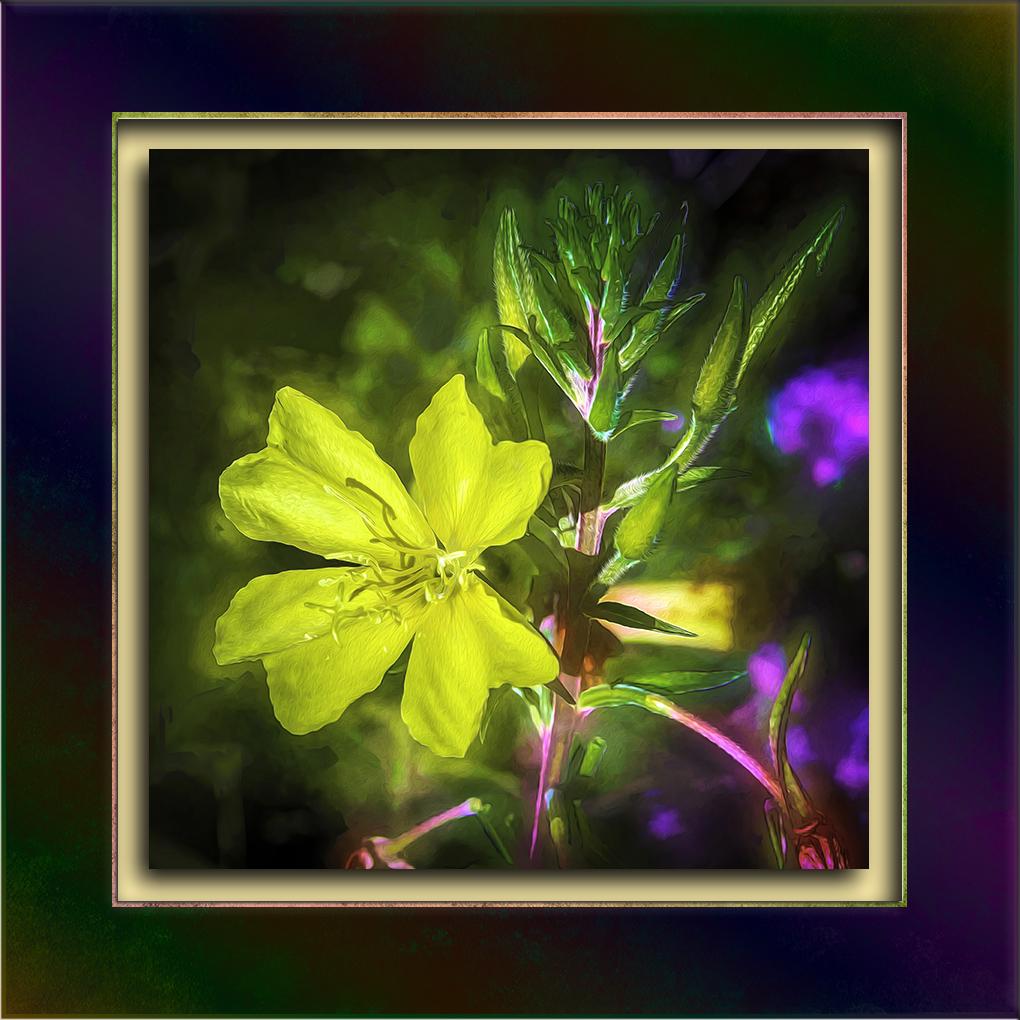 Cutleaf Evening Primrose-Edit-3-art-Edit-1-72