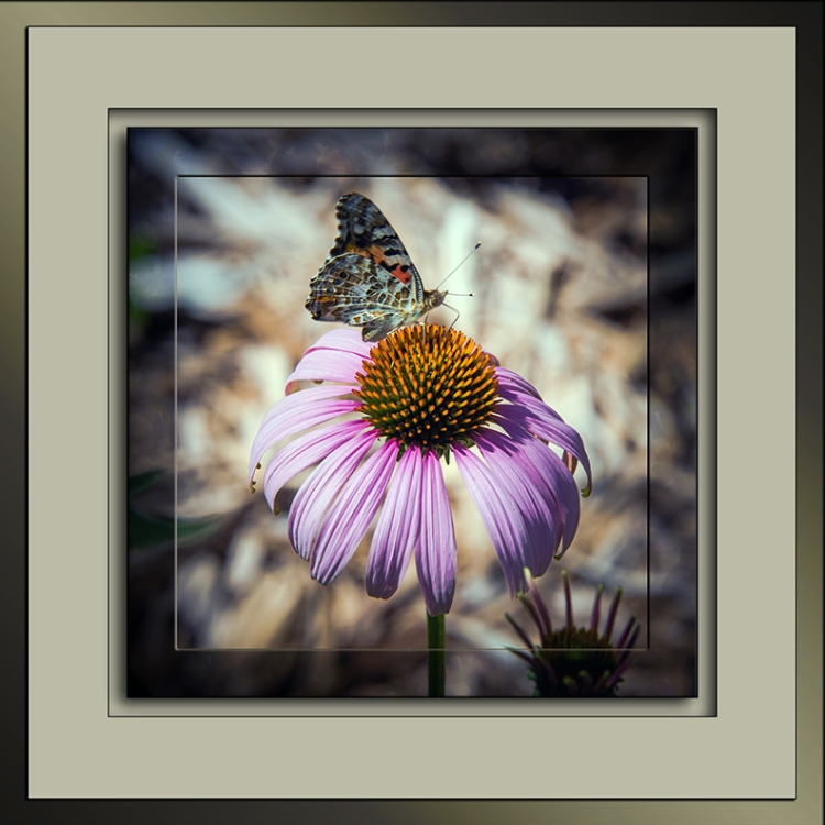 Field Cresent Butterfly-3071 framed-72