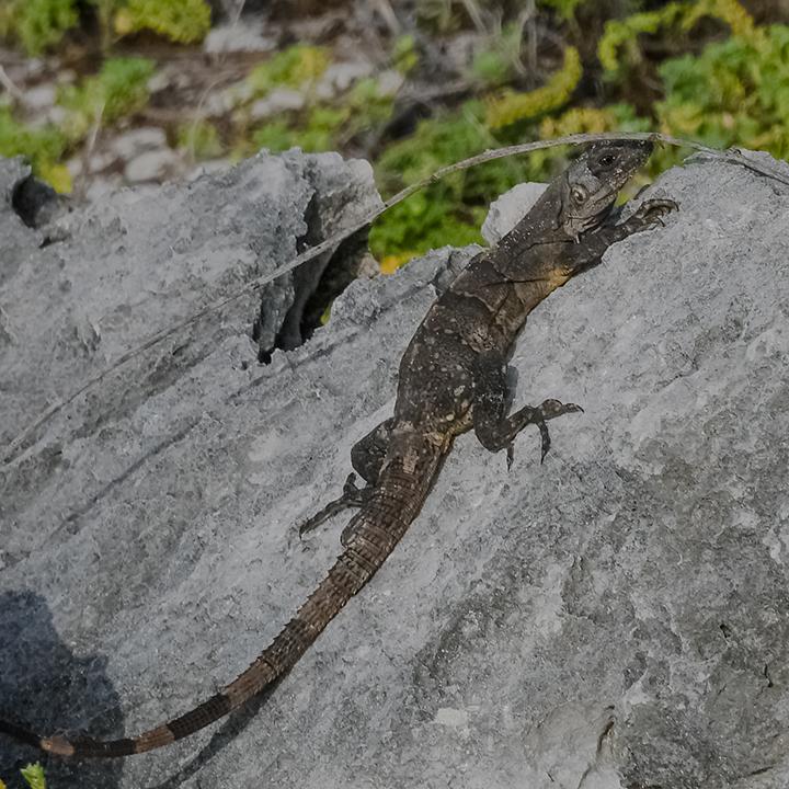 Lizards-2-72