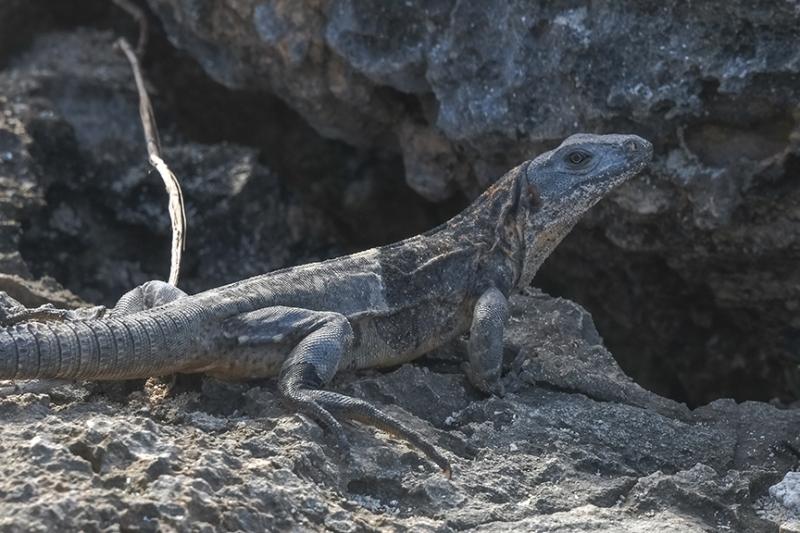 Lizards-4-72.jpg