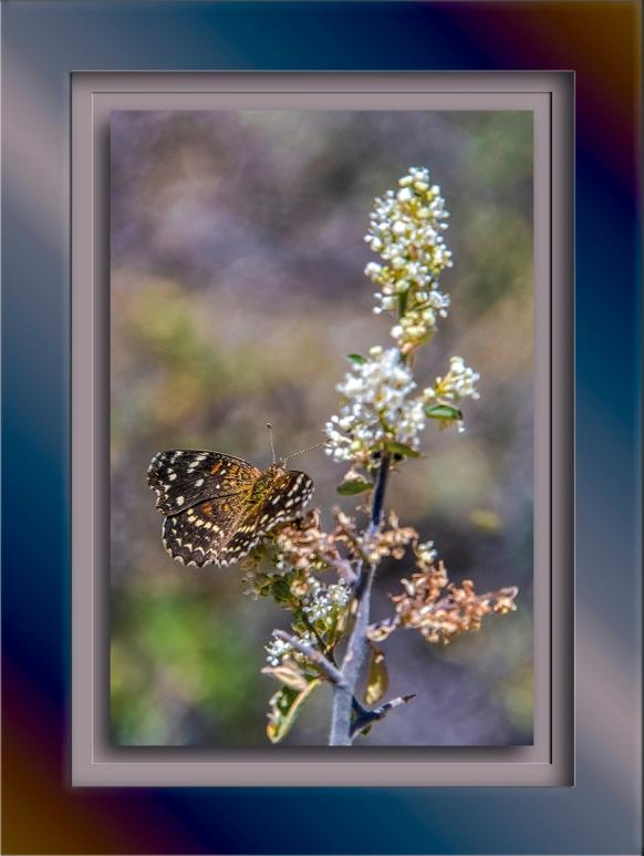 Texas Crescent Butterfly-1905-Edit-1-72.jpg