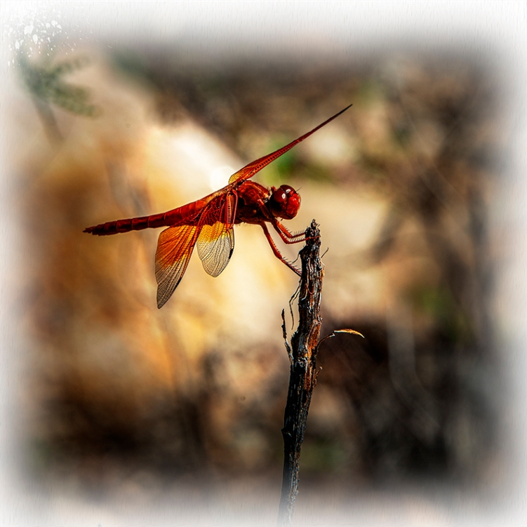 Red-veined Darter Gragonfly-art-72