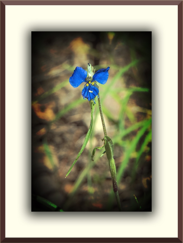 Birdbill Dayflower (1 of 1)-2 blog