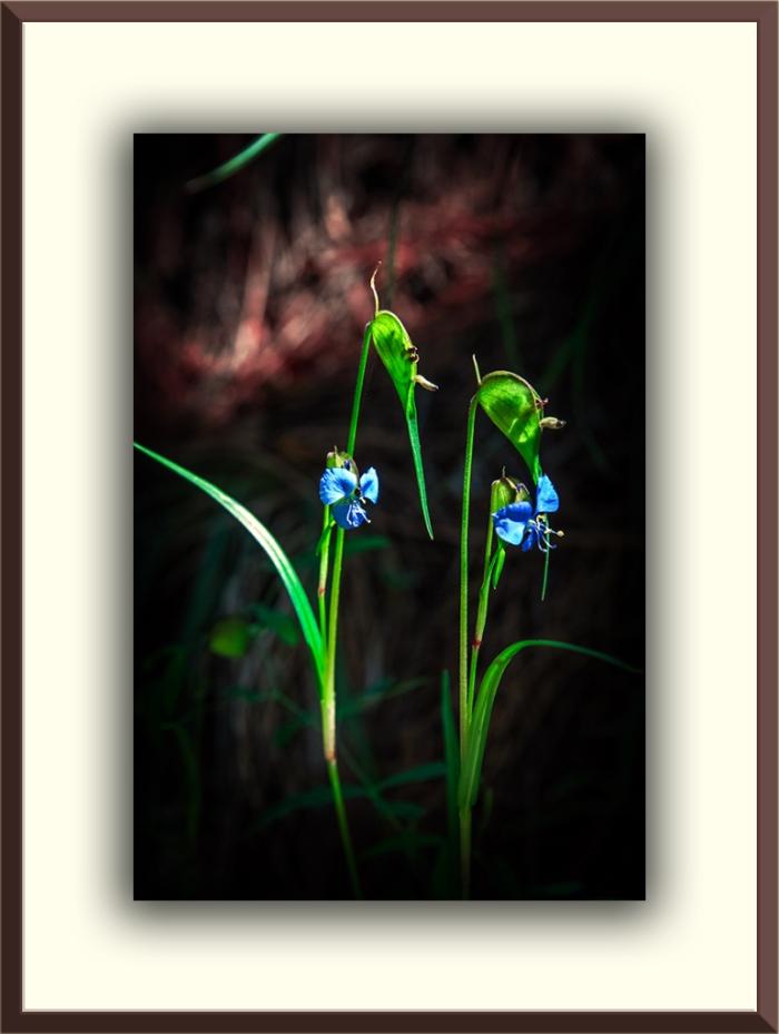 Birdbill Dayflower(1 of 3) blog