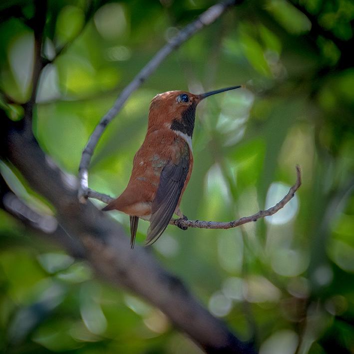 Ken & Mary Visit -- Rufous Hummingbird-72.jpg