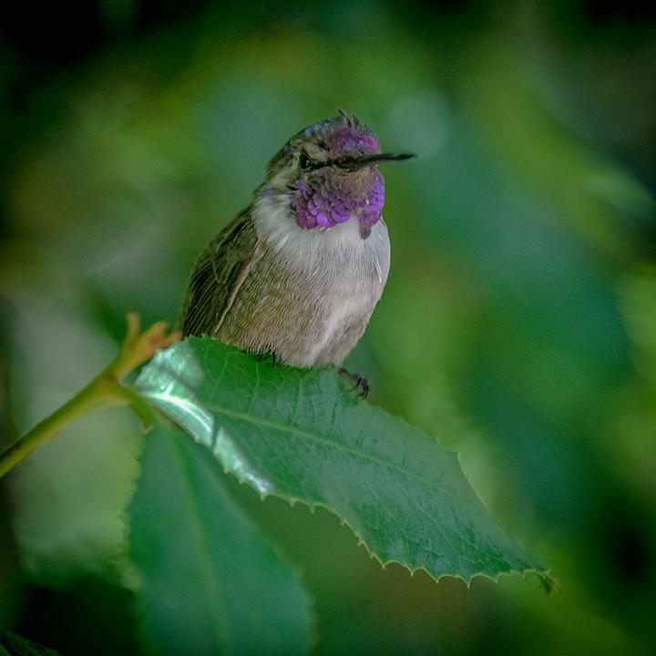 Ken & Mary Visit -- Anna's Hummingbird-72.jpg