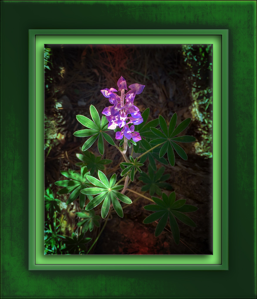 Lupine On Mt. Lemmon-72-2