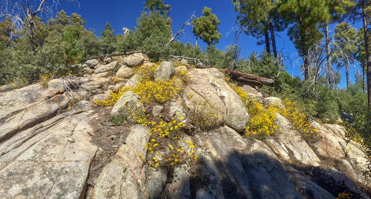 Mountain Goldenrods-3-72