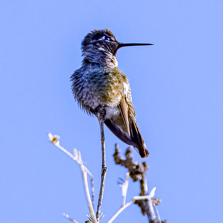 Hummingbird-72