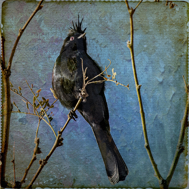 Male Phainopepla-art-72