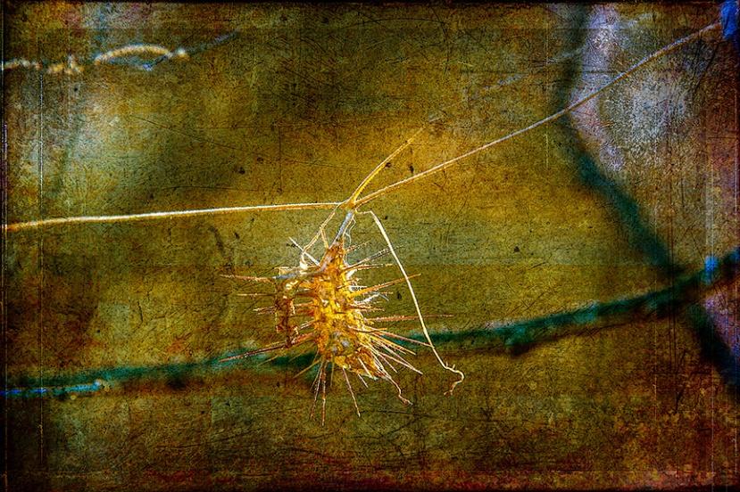 Wild Balsam Apple-0538 Seed Pod Art-72.jpg