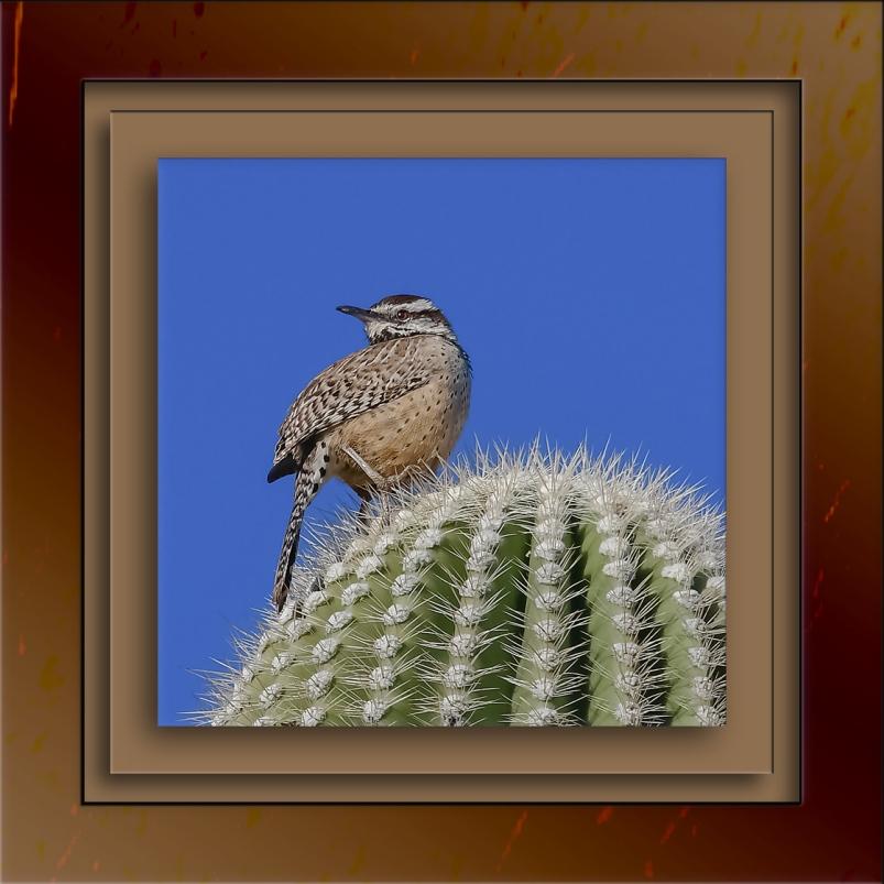 Cactus Wren-3-72-2
