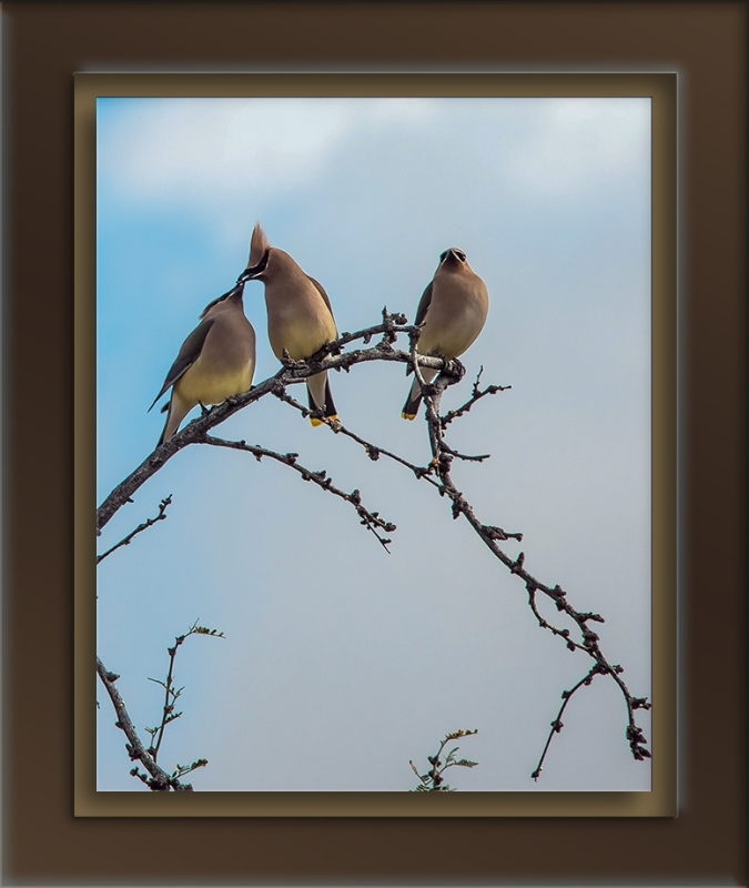 Cedar Waxwing (1 of 1)-10-2-72