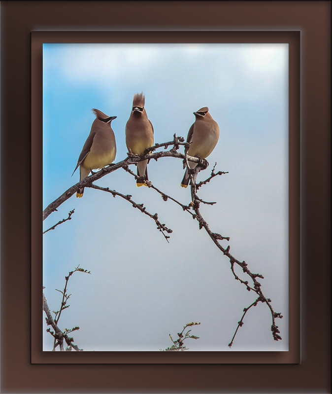 Cedar Waxwing (1 of 1)-12-72