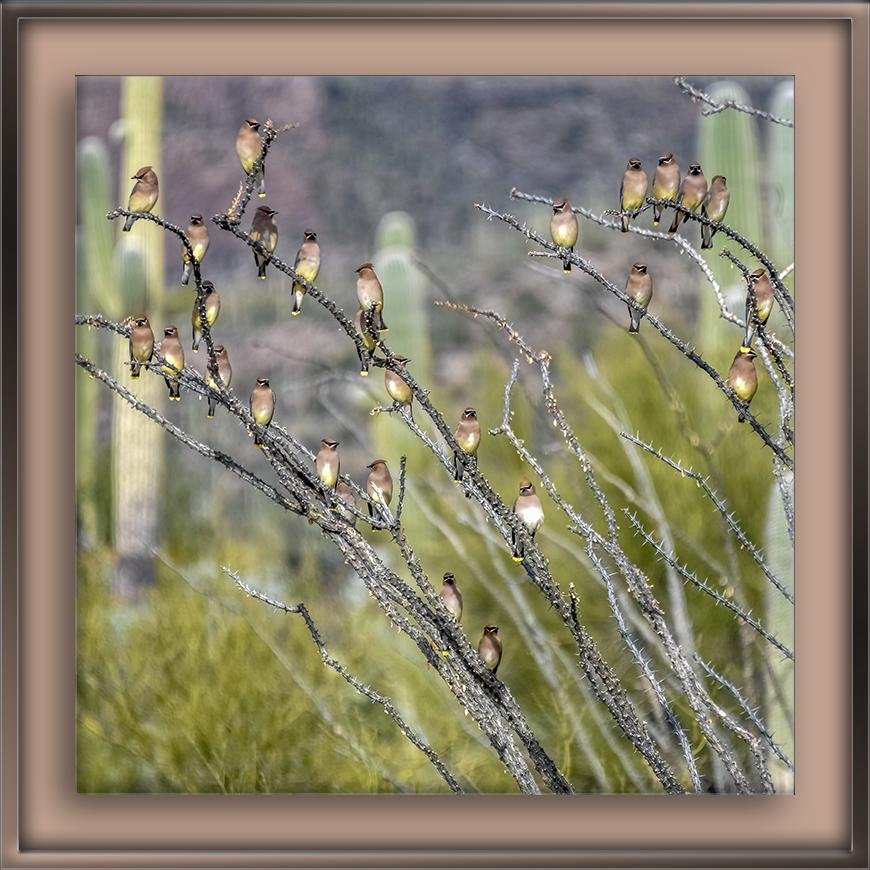Cedar Waxwings on Ocotilla Plant-15-72