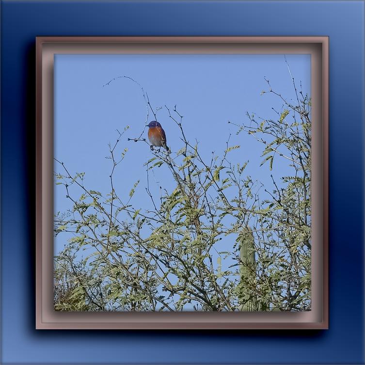 Male Eastern Bluebird-72