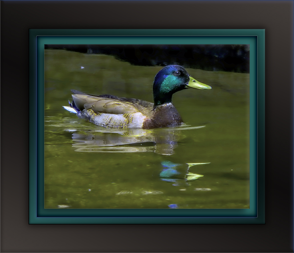 Mallard Duck Hutch's Pool-Edit-2-72