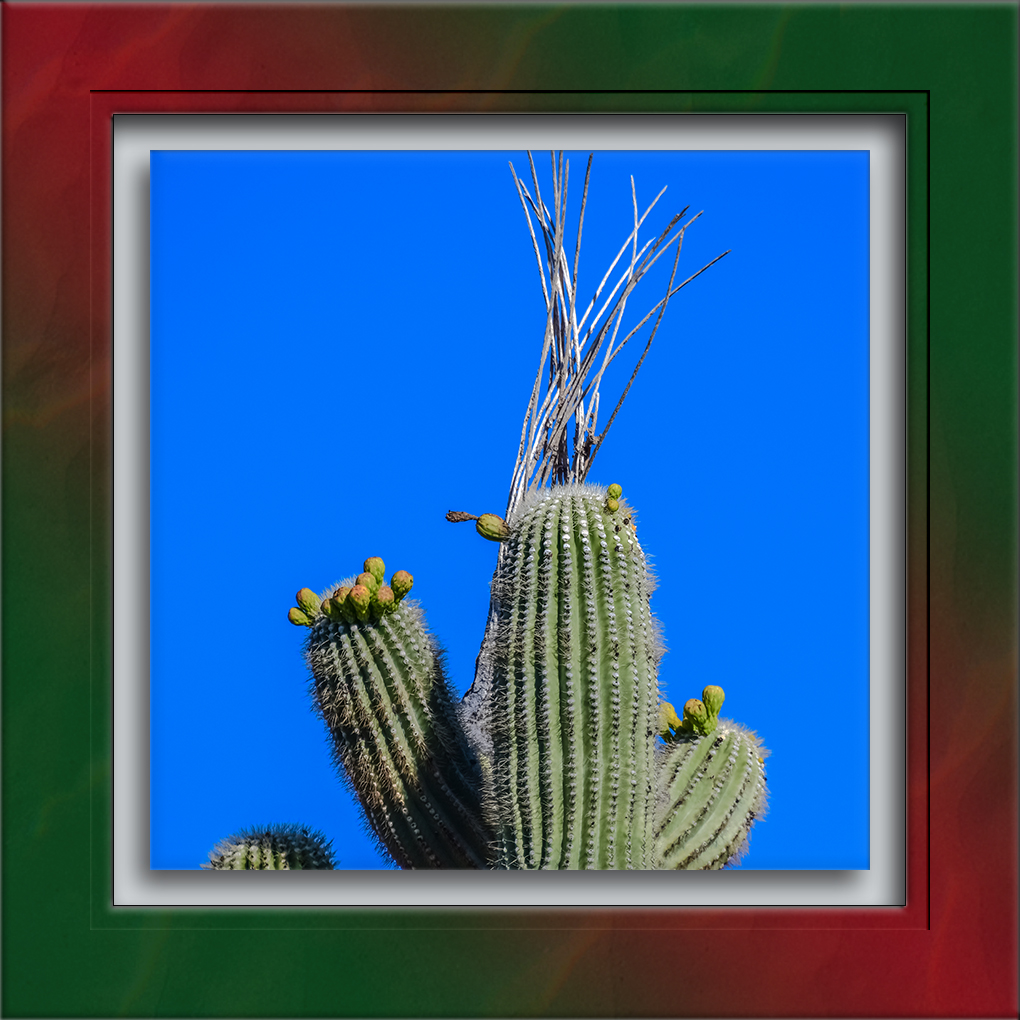 Saguaro with Buds-72