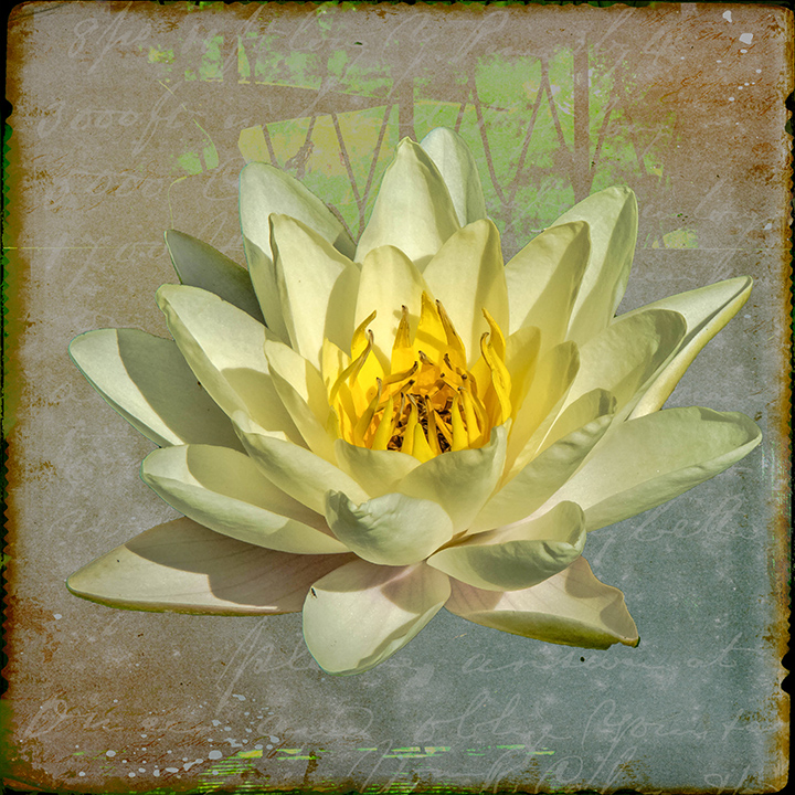 Water Lily-art-72.jpg