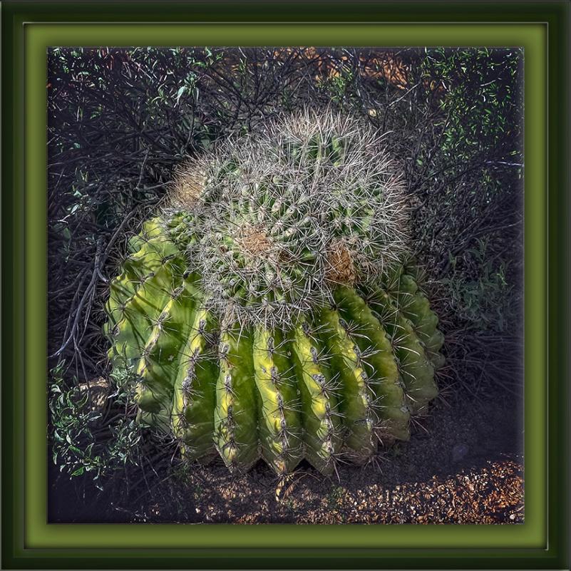 Barrel Cactus-72