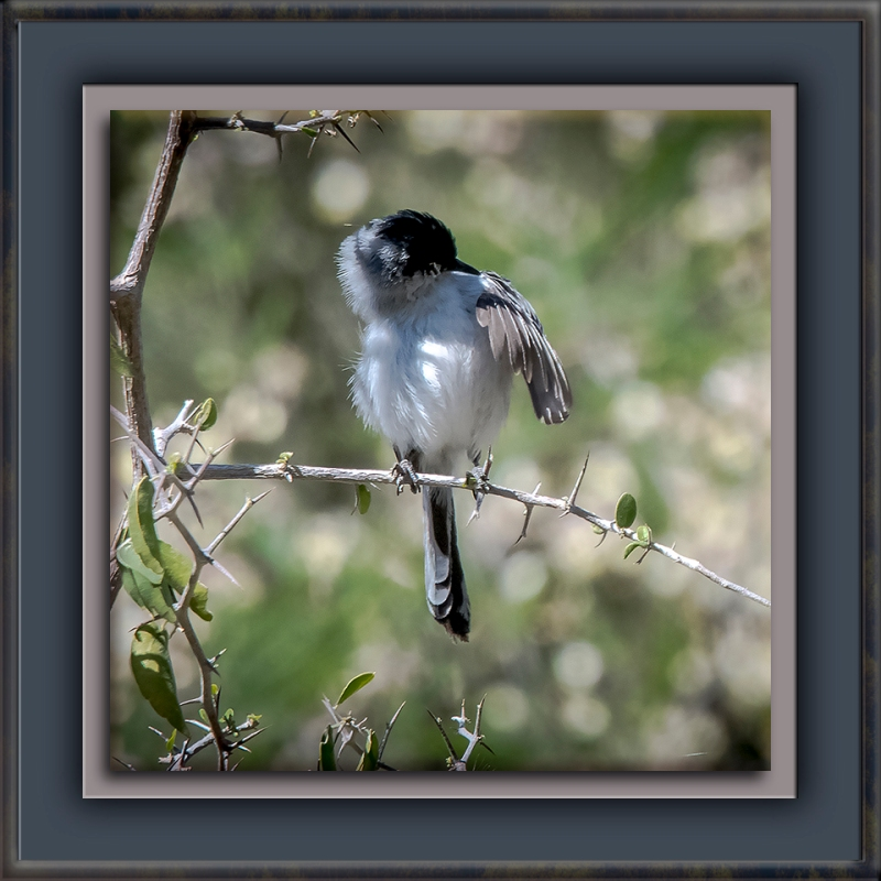 Black-tailed Gnatcatcher-1088-72