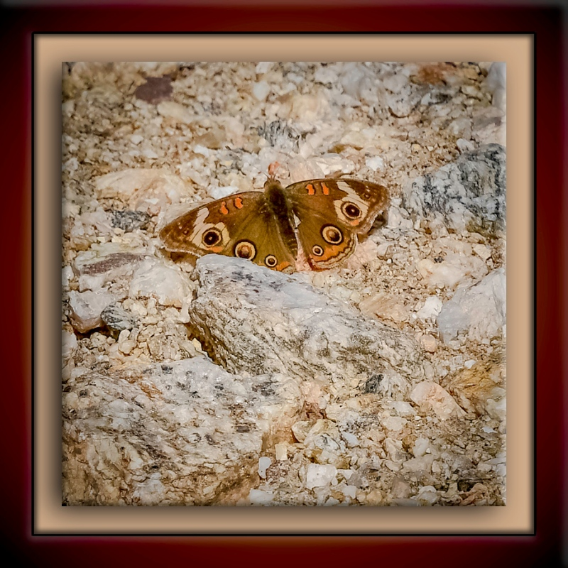 Common Buckeye-DSC_4435-72