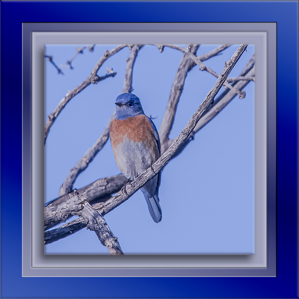 Eastern Blubird-0515-72