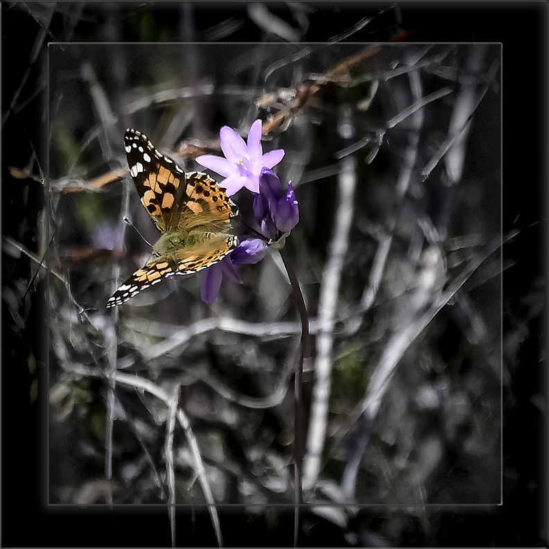 Painted Lady on a Bluedicks-72