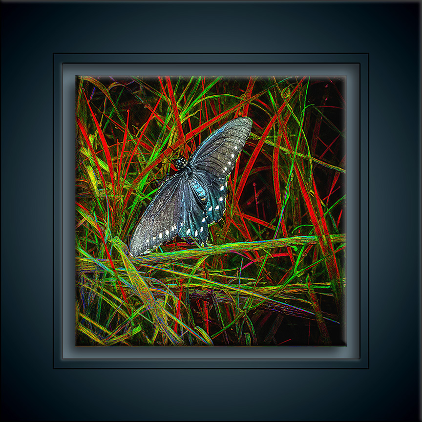 Pipevine Swallowtail-art-72